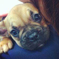 Jealous of my job yet?! #frenchbulldog #puppies