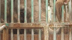 Urgent! Take Action to Save Mali, the Lonely, Miserable, Elephant at the Manila zoo...6,779 more signatures needed...PLEASE SIGN the petition