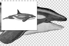 Whales: 1151 Orca Killer Whale By Enliven Designs