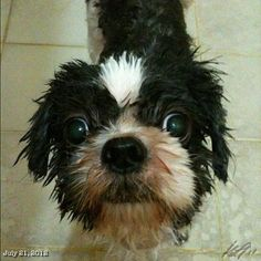 散髪してシャワーなPepper took shower after hair cut.  #shihtzu #dog #philippines #フィリピン #シーズー #犬
