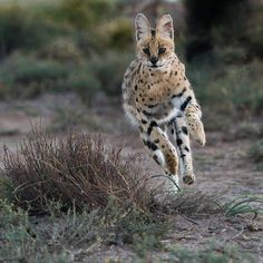 SERVAL  Servals are among the most athletic and agile of all the African cats. They prey on rodents and other small mammals, birds and occasionally reptiles. Photo by Daryl Balfour.  www.facebook.com/daryl.balfour