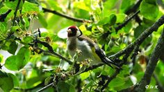 Birds (Avis) ჩიტები: ჩიტბატონა European goldfinch (Carduelis carduelis)
