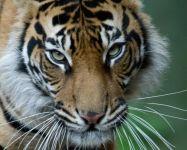 Jae Jae Sumatran Tiger @ London Zoo © Tal Chohan 2013