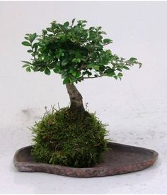 bonsai kokedama avec lave
