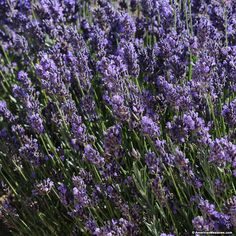 With some of the largest blooms in the Lavandula family, Superblue creates a spectacular show in the summer garden. This lavender variety prefers full sun and is drought-tolerant. (Lavandula angustifolia)
