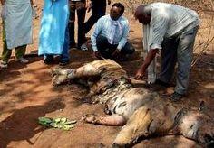 3-Jun-2013 14:27 - STROPERS DOODDEN DRIE TIJGERS IN RESERVAAT INDIA. Parkwachters hebben in een wildreservaat in het noorden van India in een week tijd drie dode tijgers gevonden. Dat hebben Indiase media maandag…...