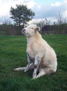 TIL cows are just big doggos - Imgur