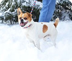 Springfield, IL - Welsh Corgi/Boston Terrier Mix. Meet Brutus, a dog for adoption. http://www.adoptapet.com/pet/12472032-springfield-illinois-welsh-corgi-mix