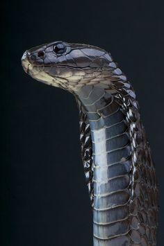 Morrocan cobra / Naja haje legionis (by Reptiles4all)