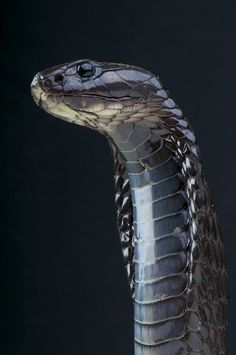 Morrocan cobra Naja haje legionis (by Reptiles4all)