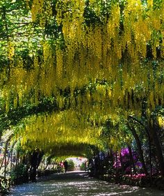The famous laburnum arch at Bodnant Garden in Conwy, Wales