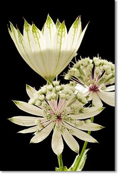 Astrantia All Flowers, Types Of Flowers, Exotic Flowers, Amazing Flowers, White Flowers, Beautiful Flowers, Special Flowers, Potager Bio, White Gardens