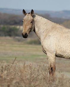 American Bashkir Curly Horse Stag Creek Mikade