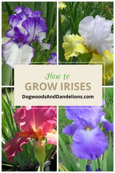 Flower Garden Irises are an easy to grow flower that will bloom year after year with little upkeep. They come in a variety of colors and tend to do well in most climates. Growing Irises, Growing Flowers, Iris Garden, Garden Plants, House Plants, Garden Bulbs, Shade Garden, Planting Bulbs, Planting Flowers