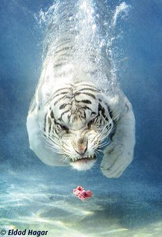 White tiger diving.