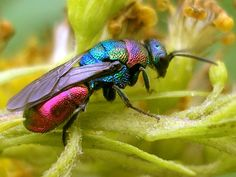 "jossisgod: "" runningamokwithanaxe: "" sixpenceee: "" Commonly known as cuckoo wasps or emerald wasps, the hymenopteran family Chrysididae is a very large cosmopolitan group of parasitoid or kleptoparasitic wasps, often highly sculptured, with..."