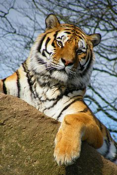 TIGER | by Markles55