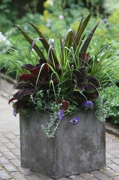 "Arabella Lennox-Boyd, garden designer  ""This planter is designed to get better and better. The luxuriant coleus Kong Series 'Red' is dominant from the start, but the Panicum virgatum 'Rotstrahlbusch' becomes redder, the Eucomis 'Sparkling Burgundy' flowers in August and the Verbena 'Blue Lagoon' and Helichrysum microphyllum fill out all season, rising to an autumn crescendo."", container gardening, landscaping"