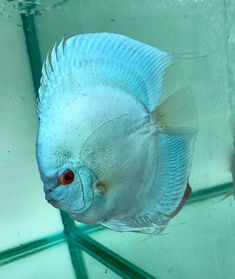 Photo gallery of Discus fish - Live Tropical Fish - Live Tropical Fish Discus Aquarium, Discus Fish, Freshwater Aquarium Fish, Saltwater Tank, Saltwater Aquarium, Fish Gallery, Birthday Wishes And Images, Fish Care, Blue Diamonds