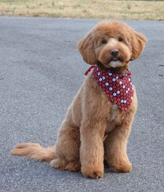 Fox Creek Farm - Creator of the mini Goldendoodle   Diy Dog Grooming Goldendoodle   Dog Grooming Tips   Do It Yourself Dog Grooming Video   Walk In Dog Nail Trim. #dogstagram #GOLDENDOODLE HAIRCUTS