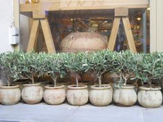 olive plants in jars on display outside store  selling olive oil, France