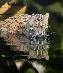 Fishing cats typically inhabit areas of wetland, including swamps and marshy areas, oxbow lakes, reed beds, tidal creeks and mangrove areas, up to an altitude of 1,500 metres