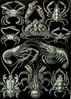 Decapods, plate 86, Kunstformen der Natur (1904), Ernst Haeckel (1834–1919)