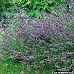 Purple Lavender Grosso, Lavandula x intermedia, Lavender