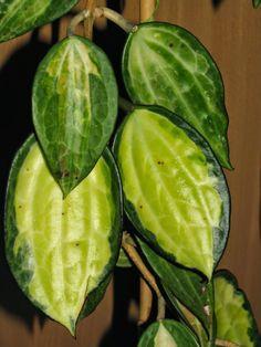 hoya macrophylla variegara revers