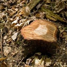 Trees can regrow even after being cut to the ground.