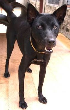 My name is Chocolate. Please ADOPT ME! Please e-mail alex@soidog-foundation.org to adopt me. I am 3 years and 9 months old and I have lived at Soi Dog, Phuket, Thailand since I was just 1 month old! I was one of 6 puppies who came to Soi Dog because our mummy was killed. We were so sad when our mummy died and so very scared. https://www.facebook.com/SoiDogPageInEnglish/photos/a.864051323636604.1073743024.108625789179165/864051366969933/?type=1&theater