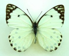 FOREST CAPER WHITE BUTTERFLY Belenois calypso shaba A- SET TS x 1 M Pieridae | eBay