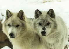 Tuesday's vote is your chance to tell the representative in your district to reject Section 121, Amendment No. 19 and any future attempts to legislatively strip protections from wolves through the Interior Department Appropriations Bill.