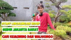 Staff Sudin Lingkungan Hidup cari kemuning dan walisongo   kemuning   wa... Bonsai, Dan, Youtube, Bonsai Trees, String Garden
