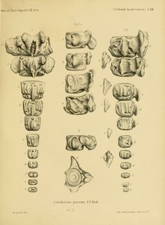Untersuchungen über die fossilen und subfossilen Cetaceen Europa's, - Biodiversity Heritage Library