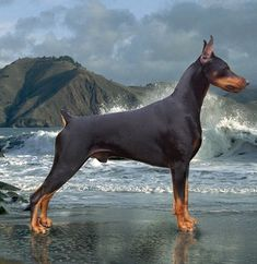The Doberman Pinscher is among the most popular breed of dogs in the world. Known for its intelligence and loyalty, the Pinscher is both a police- favorite Big Dogs, I Love Dogs, Cute Dogs, Dogs And Puppies, Rottweiler, Black And Tan Terrier, Doberman Pinscher Dog, Doberman Love, Beautiful Dogs