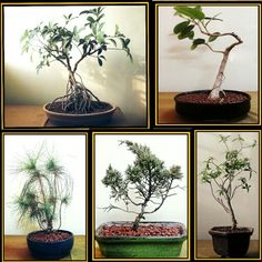 My bonsai's
