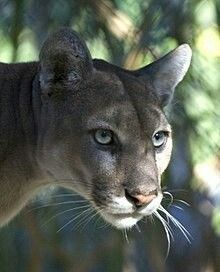 Florida panther habitat loss and human activity have decimated populations