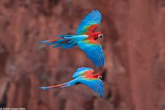 A pair of Red-and-green Macaws (Ara chloropterus) flying inside a natural sinkhole in south-central Brazil. Caption and bird photography by Octaviio Campos Salles.
