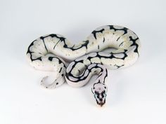 axanthic bumble bee ball python. This is pretty especially when paired ...