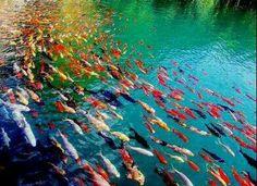 Beautifly colored coyfish !