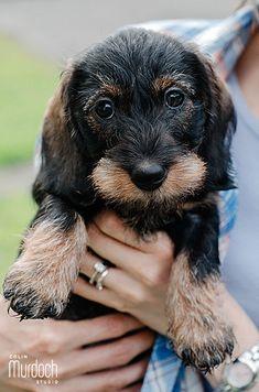 8 week old Miniature Wirehaired Dachshund puppy   Photo by www.colinmurdochstudio.com