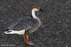 Swan Goose, Anser cygnoides 2 | Flickr - Photo Sharing!