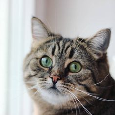 «#dashkathecat #cat #catstagram #cat_and_dog #topcatphoto #meowbox #catsofinstagram #facecat #meow #petstagram #petsbro #pets #petlove #кот #коты #кошка…»