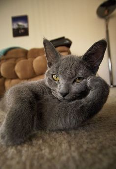 Chartreux breed. NOT A Russian Blue. Note the eye color. Russian Blues have GREEN eyes. Chartreux have yellow/orange.