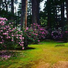 kongobuji #koyasan #kongobuji #rhododendron #高野山 #金剛峯寺 #石楠花 #しゃくなげ  2017/05/16 23:31:18