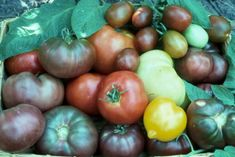 Planting Tomato Seeds Easy Heirlooms Cherry Tomatoes | The Old Farmer's Almanac