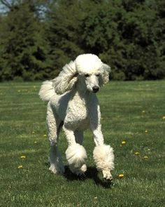 dog grooming tips for poodles-- do it yourself and save over $900.00 a year