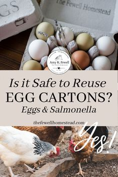 Is it safe to reuse egg cartons? Absolutely! The FDA stated years back that it was a concern, but the reality is that only .00000001% of people die from ALL types of salmonella every year. That's not just poultry, but mostly lettuce! Learn how to safely reuse egg cartons here. #chickens #eggs #eggcartons #homestead #homesteading Raising Backyard Chickens, Meat Chickens, Fresh Chicken, Chicken Eggs, Storing Eggs, Urban Chickens, Egg Cartons, Baby Chicks, Egg Shells