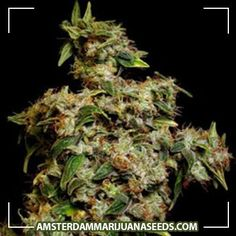 Amnesia Trance Feminized seeds | Amnesia is a cross between Cambodian and Super Silver Haze. This makes it a mostly sativa strain wit...